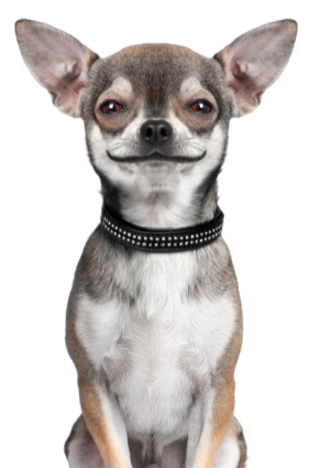 smiling_chihuahua.png